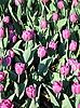 Purple tulips | Stock Foto
