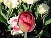 Red tulip | Stock Foto