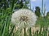 Single dandelion | Stock Foto