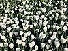 ID 3012375 | Weiße Tulpen | Foto mit hoher Auflösung | CLIPARTO