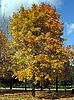 Photo 300 DPI: Yellow maple