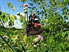 ID 3012449 | Admiral-Schmetterling auf der Blume | Foto mit hoher Auflösung | CLIPARTO
