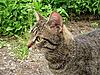 狡猾的猫   免版税照片