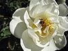 ID 3012456 | Bee w dogrose kwiat | Foto stockowe wysokiej rozdzielczości | KLIPARTO