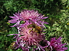 ID 3012458 | Bee on pink flower | High resolution stock photo | CLIPARTO