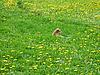 犬在蒲公英领域   免版税照片