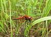 Dragonfly na trawie | Stock Foto