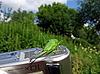 ID 3012516 | Zielony konik polny na kamery | Foto stockowe wysokiej rozdzielczości | KLIPARTO