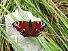 잎에 공작 나비 | Stock Foto