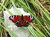 Peacock motyl na liściu | Stock Foto