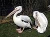 Photo 300 DPI: Pelicans