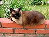 暹罗猫   免版税照片