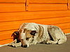 ID 3012586 | Sleeping dog | High resolution stock photo | CLIPARTO