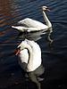 White swans | Stock Foto