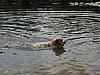 游泳的狗   免版税照片