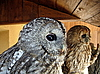 Photo 300 DPI: Two owls