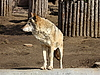 Фото 300 DPI: Волк в зоопарке