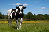 Black cow grazing in field | Stock Foto