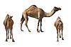Camels  | Stock Foto