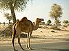 Camel | Stock Foto