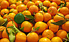Photo 300 DPI: ripe mandarins with green one