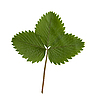 Green strawberry leaf isolated on the white   Stock Foto