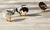 Ducklings | Stock Foto