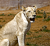 Photo 300 DPI: White lion