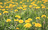 Dandelions | Stock Foto