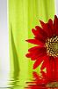 非洲菊 | 免版税照片