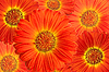 Gerbera Flower background | Stock Foto