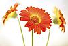 非洲菊。三花。 | 免版税照片