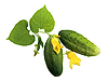 Two fresh cucumbers with leaves and yellow flowers | Stock Foto