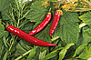 Photo 300 DPI: Red and green spices background