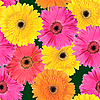 Background of pink, yellow and orange flowers | Stock Foto