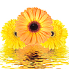Three yellow flower reflected in water | Stock Foto