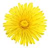 Yellow flower of dandelion | Stock Foto