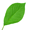 Green leaves of cherry-tree | Stock Foto