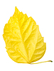 Yellow leaves isolated on white | Stock Foto