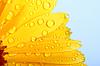 Цветок календулы с каплями росы | Фото