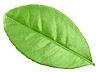 Green leaves of citrus-tree | Stock Foto