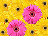 Photo 300 DPI: background of yellow and pink flowers