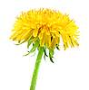 被隔绝在白色的黄色的蒲公英花 | 免版税照片