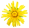 Flor amarilla de diente de león aislado en blanco | Foto de stock