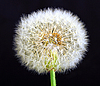 Photo 300 DPI: white dandelion on black background