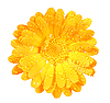 Flower of calendula with dew | Stock Foto