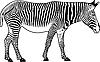 Vector clipart: Zebra. Contour