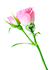 Photo 300 DPI: Pink rose and bud on green stalk