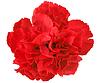 Photo 300 DPI: One red carnation