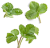 Strawberry leaves | Stock Foto